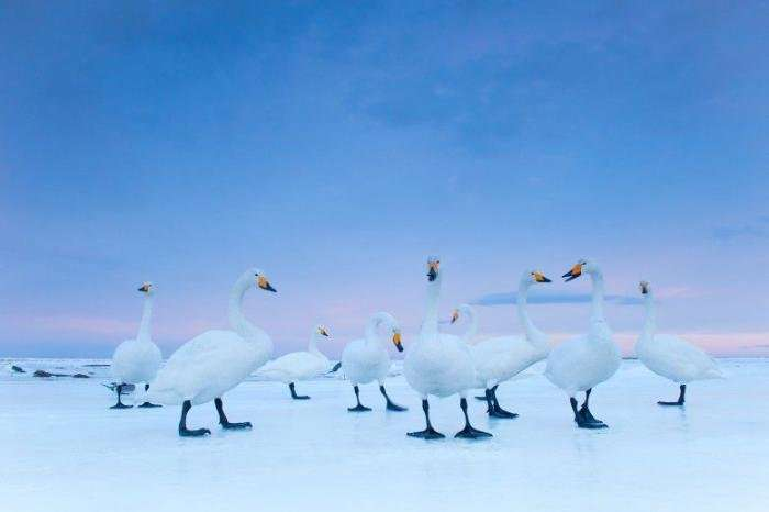 Элегантная птица лебедь-кликун